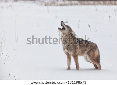 Coyote howling, with feathers noted in his mouth from his prey.  Freezing rain creates a mournful feel to this winter image