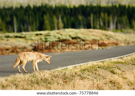 Coyote hunting along road, Yellowstone.