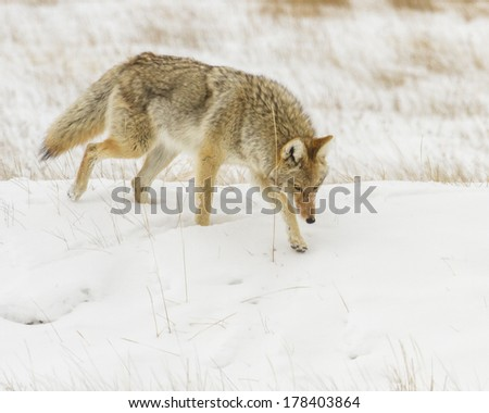 Coyote hunting for mice during winter.  Photo taken near Jackson Hole Wyoming.