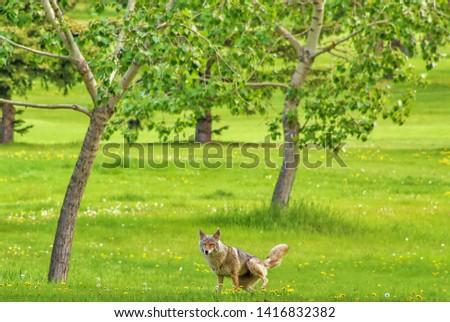 Coyote In An Edmonton Park