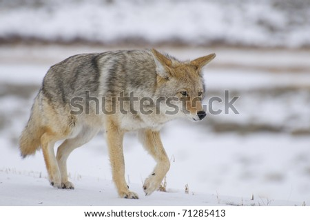 Coyote in deep snow at Yellowstone National Park