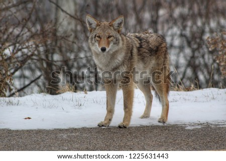 Coyote In Nature