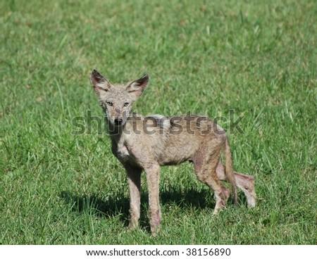 Coyote in neighborhood yard