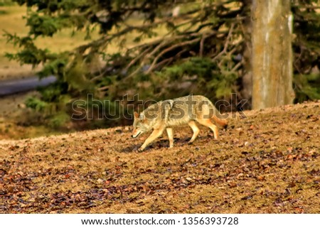 Coyote In The Park