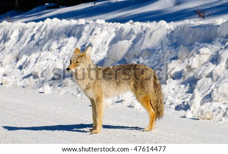 Coyote in the wild  in winter, Spray Lakes Alberta