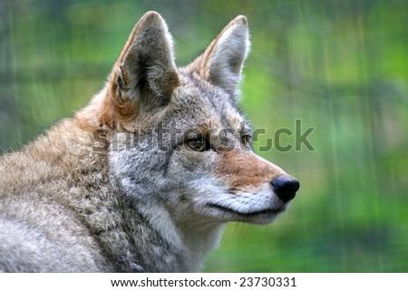 Coyote in winter coat (closeup)