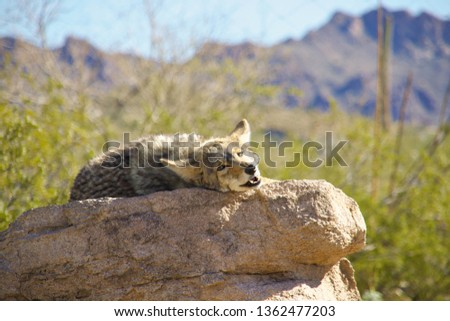 Coyote laying on rock. Photo was taken in Arizona.