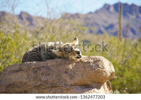 Coyote laying on rock. Photo was taken in Arizona.