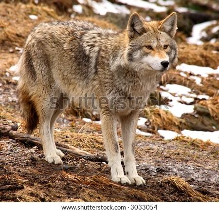 Coyote Looking Ahead