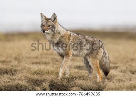 Coyote on spring meadow in Tagish, Yukon, Canada