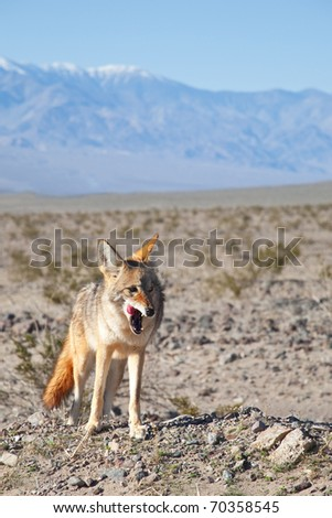 Coyote on the prowl in Death Valley, California.