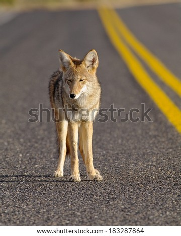 Coyote on the road. Photo taken in Death Valley National Park, California, USA.