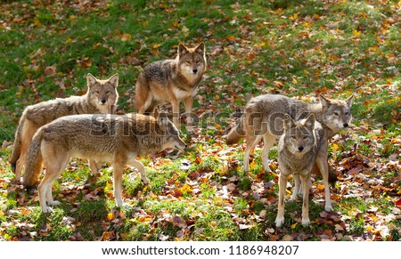 Coyote pack (Canis latrans) standing in a grassy green field in the golden light of autumn in Canada