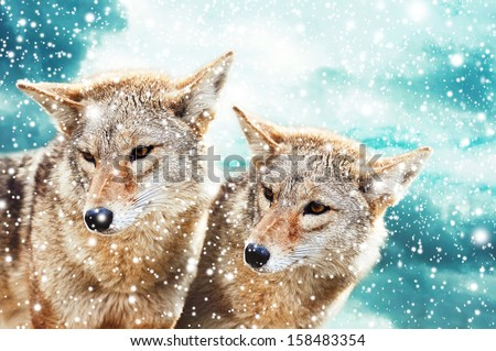 Shutterstock Coyote pair against the blue winter sky. Animals in the wild.