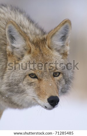 Coyote portrait in deep snow at Yellowstone National Park