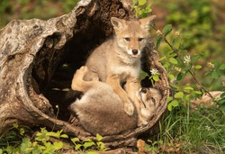 Coyote Pups with mother in log den