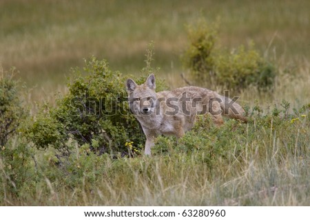 Coyote roams the meadows in the Rocky Mountain region