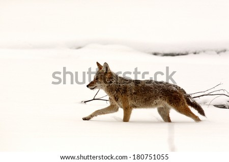 Coyote running through snow covered field