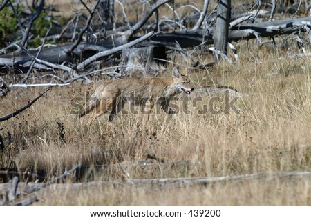 Coyote searching for a meal