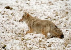 Coyote, sometimes called an American jackal by zoologists, is a mammal, a member of the Canidae family and the genus Canis. Coyotes are found only in North and Central America.