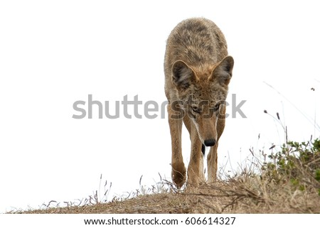 Coyote Stalking You!