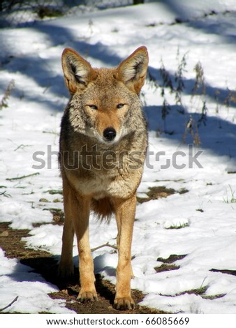 Coyote standing in snow