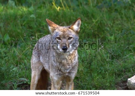 Coyote standing in the grass-stock photos