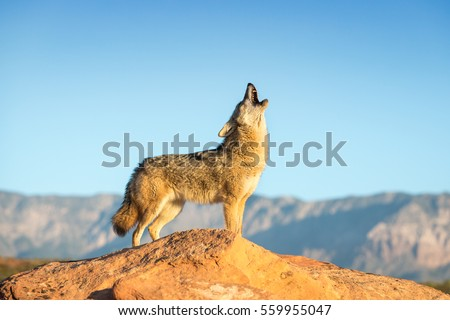 coyote standing on a rock formation howling with desert, mountains and blue sky in the background