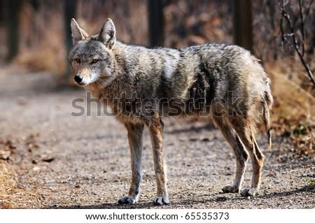 Coyote walking along the path at Inglewood Bird Sanctuary in Calgary, Alberta, Canada.