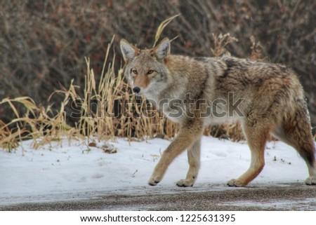 Coyote Walking Outside
