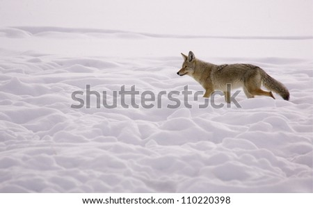 Coyote walking through a winter snowscape in Yellowstone National Park, Montana / Wyoming; wildlife viewing Lamar Valley Hayden Valley; snow