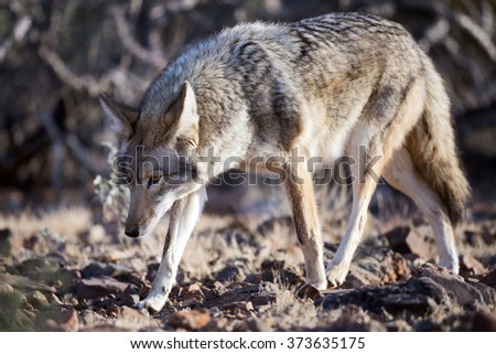 Coyote walking through desert bushes. #373635175