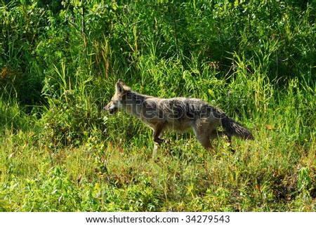 Coyote wandering on meadows in elk island national park, alberta, canada