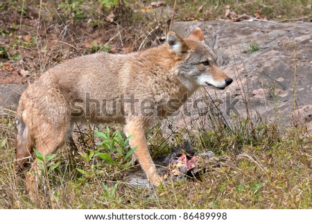 Coyote with pheasant kill