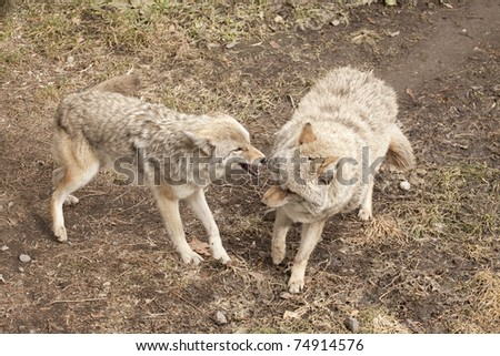 Coyotes Fighting with Eachother