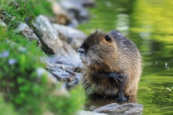 Coypu (Myocastor coypus) sitting in water near river bank and cleaning hair by foreleg. Rodent also known as nutria, swamp beaver or beaver rat. Wildlife scene. Habitat America, Europe, Asia.