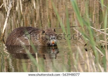 Coypu or river rat or nutria,  Myocastor coypus