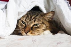 Cozy cat lies under a blanket