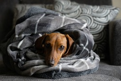 Cozy dog wrapped up in blankets - a dachshund / wiener dog