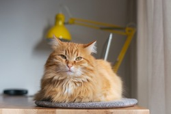Cozy interior view with funny grumpy red cat sitting on a mat with yellow table lamp in Background