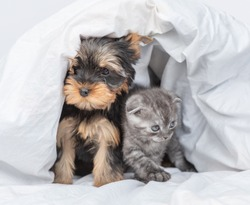 Cozy kitten and yorkshire terrier puppy sit together under warm blanket at home