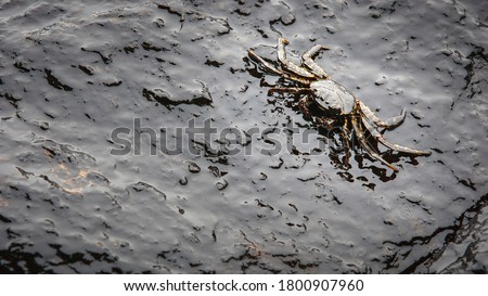 crab and crude oil spill on the stone at the beach Foto stock ©