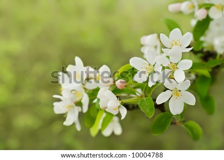 Crab apple blossoms with copyspace
