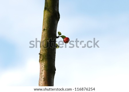 Crab apple growing from a sprout on the tree trunk