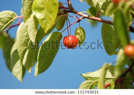 Crab apple hanging against a blue sky