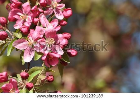 Crab Apple Tree Blooms - stock photo