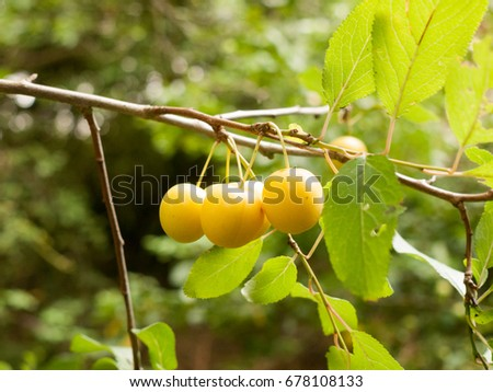 Crab Apples Growing on a Tree in the Wild; Essex; UK