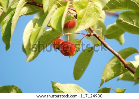 Crab apples on the branch in bright sunlight - stock photo