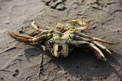 Crab at the sand