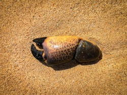 Crab claw on the beach. Part of a dead water animal on the sand. Tropical island climate. Marine theme. Selective focus on the details, blurred background.